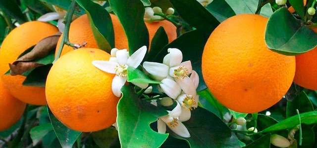 Bitter-Orangen-Blueten-640x300px